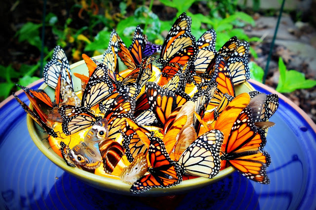 Butterfly feeder bowl