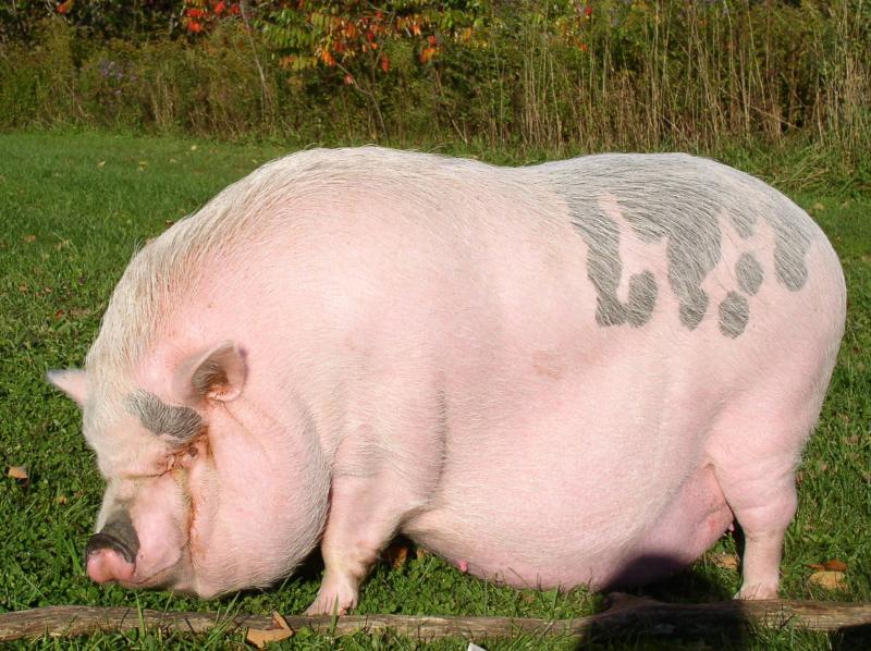 Lady_obese_pig.23175943_std